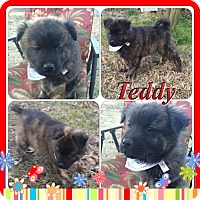 Adopt A Pet :: Teddy in CT - Manchester, CT