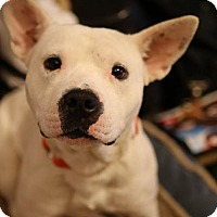 Adopt A Pet :: HAN SOLO - Olive Branch, MS