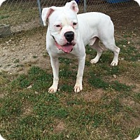 Adopt A Pet :: Sawyer - Jacksonville, AL