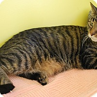 Domestic Shorthair Cat for adoption in Fairfax, Virginia - Adelle