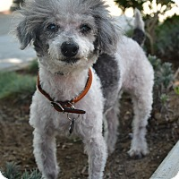 Adopt A Pet :: Clyde - Santa Monica, CA