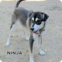 Adopt A Pet :: NInja - Lindsay, CA