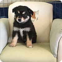 Adopt A Pet :: Pippen - Encino, CA