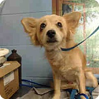 Chihuahua Mix Dog for adoption in San Bernardino, California - URGENT ON 10/6  San Bernardino