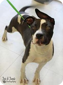 American Staffordshire Terrier Mix Puppy for adoption in Yukon, Oklahoma - Pockets
