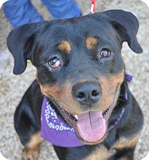 Rottweiler Dog for adoption in Atlanta, Georgia - Raisin