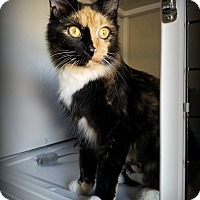 Domestic Longhair Cat for adoption in White Cloud, Michigan - Calypso