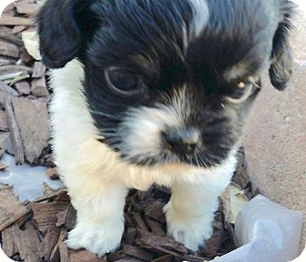Cocker Spaniel/Shih Tzu Mix Puppy for adoption in Los Angeles, California - Adorable Sweetie Pie