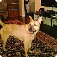 Chow Chow Mix Dog for adoption in Roanoke, Virginia - GINGER - CURRENTLY IN FOSTER