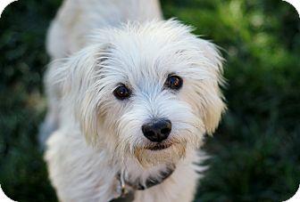 Westie, West Highland White Terrier/Schnauzer (Miniature) Mix Dog for adoption in Los Angeles, California - Sidney - Watch my new video!