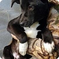 Adopt A Pet :: Baby Sebastion - Rockville, MD