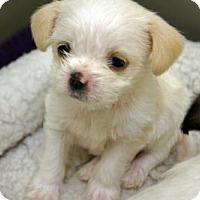 Adopt A Pet :: 'BAM BAM' - Agoura Hills, CA