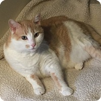 American Shorthair Cat for adoption in Pasadena, California - Tyler