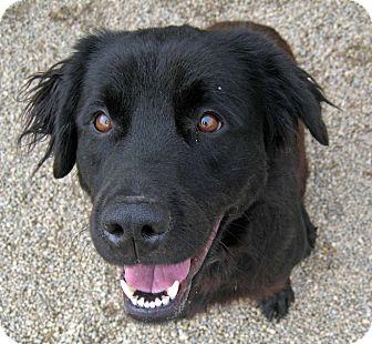 Flat Coated Retriever Cross Ash | Adopted Dog | Ma...