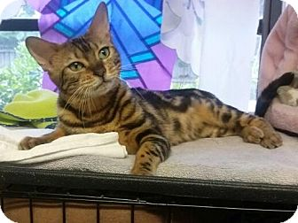 Bengal Cat for adoption in Lantana, Florida - Abby