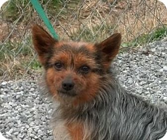 Yorkie, Yorkshire Terrier/Pomeranian Mix Dog for adoption in Hagerstown, Maryland - Reagan (reduced $350)