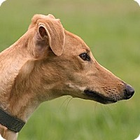 Greyhound Dog for adoption in Portland, Oregon - Plus