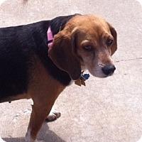 Adopt A Pet :: Patti - Novi, MI