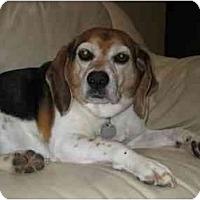 Adopt A Pet :: Roxy Racoon - Phoenix, AZ