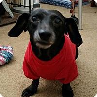 Adopt A Pet :: Isabella - Pinellas Park, FL