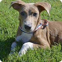 Jack Russell Terrier/Terrier (Unknown Type, Small) Mix Dog for adoption in Midland, Texas - Muffin