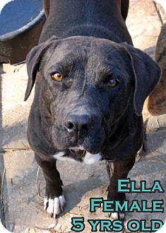 American Staffordshire Terrier/Labrador Retriever Mix Dog for adoption in Boaz, Alabama - Ella