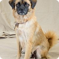 Tibetan Spaniel Mix Dog for adoption in Oklahoma City, Oklahoma - Princess