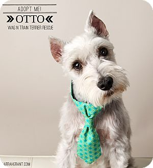 Schnauzer (Miniature) Dog for adoption in Omaha, Nebraska - Otto