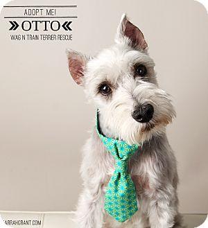 Schnauzer (Miniature) Dog for adoption in Omaha, Nebraska - Otto-Pending Adoption