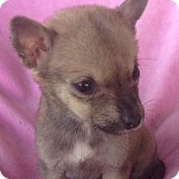 Adopt A Pet :: Foxy - Hartford, CT