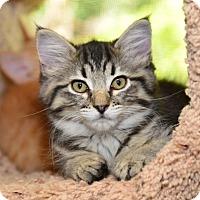 Adopt A Pet :: Remington - Davis, CA