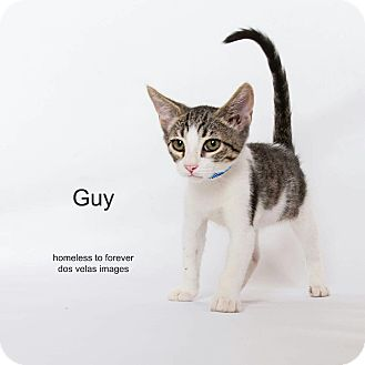 Domestic Shorthair Cat for adoption in Arcadia, California - Guy