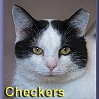 Adopt A Pet :: Checkers - Aldie, VA