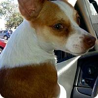 Adopt A Pet :: Cheebee - West Palm Beach, FL
