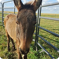 Miniature Mix for adoption in Sawyer, North Dakota - Dooley the Mule