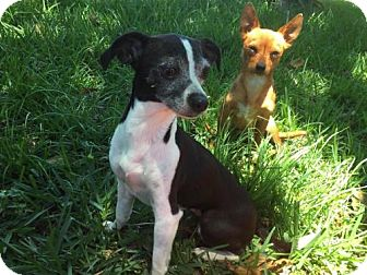 Chihuahua Mix Dog for adoption in Sarasota, Florida - Penni & Scrappy(Bonded Pair)