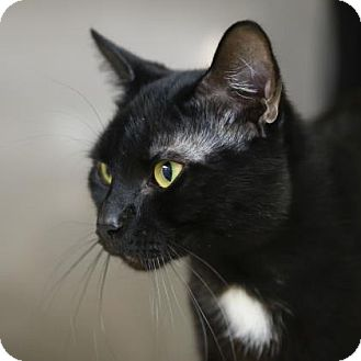 Domestic Shorthair Cat for adoption in Kettering, Ohio - Benny