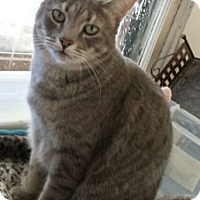 Domestic Mediumhair Cat for adoption in Denver, Colorado - Santos
