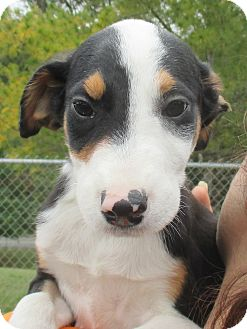 Cattle Dog Mix Puppy for adoption in Reeds Spring, Missouri - Kurt