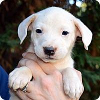 Labrador Retriever/Retriever (Unknown Type) Mix Puppy for adoption in Bayshore, New York - Tigger