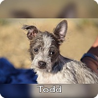 Chihuahua/Terrier (Unknown Type, Small) Mix Puppy for adoption in Rosamond, California - Todd