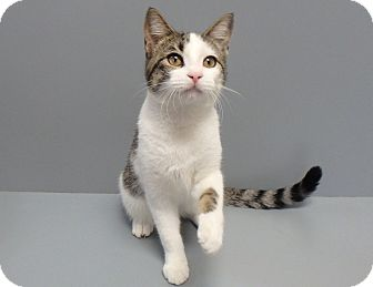 Domestic Shorthair Cat for adoption in Seguin, Texas - Tara