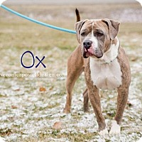 Adopt A Pet :: Ox - Kendallville, IN