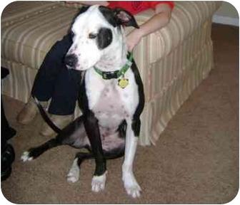 Chance   Adopted Dog   Warrenton, MO   Great Dane/American ...