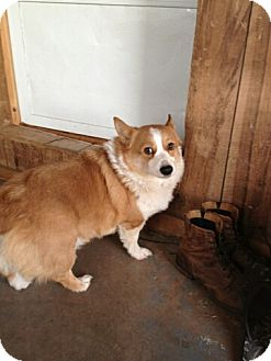 Welsh Corgi Dog for adoption in Inola, Oklahoma - Tramp