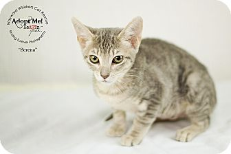 Domestic Shorthair Cat for adoption in San Antonio, Texas - Sirena