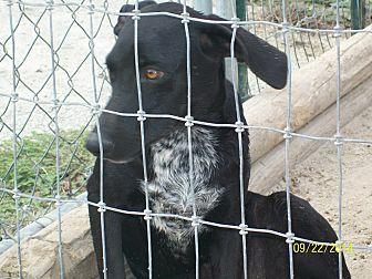 Labrador Retriever/German Shorthaired Pointer Mix Puppy for adoption in Mexia, Texas - Bessie