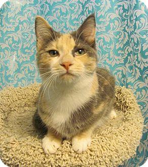 Domestic Shorthair Cat for adoption in Covington, Kentucky - Adelaide