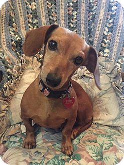 Dachshund Dog for adoption in Tomball, Texas - Winnie