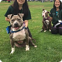 Adopt A Pet :: Ambassador Jayda - Los Angeles, CA